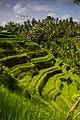 Rice terraces on Bali - Tegalalang Rice Terrace - Indonesia 04.jpg