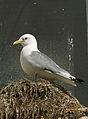 Rissa tridactyla LC0149.jpg