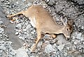 Roadkilled Deer Richmond Indiana.jpg