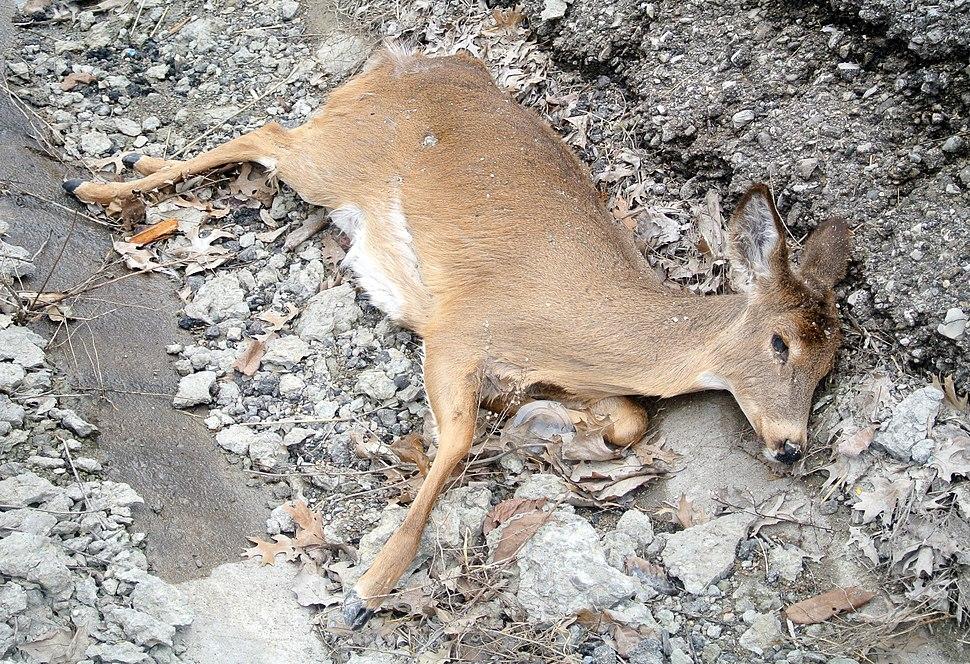 Roadkilled Deer Richmond Indiana