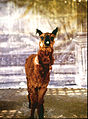 "Roberto Huarcaya - Guanaco ""Panchito"" de la serie Identidades - Google Art Project.jpg"