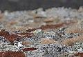 Rock ptarmigan (Lagopus muta) 01.jpg