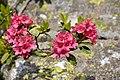 Rododendro in natura.jpg
