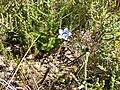 Roella ciliata (4).jpg