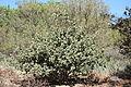 Romneya coulteri - Leaning Pine Arboretum - DSC05624.JPG