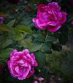 Rosa-'Ferdinand-Pichard'.jpg