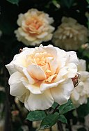 Rosa 'Mrs Aaron Ward'