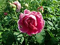 Rosa Lady of Megginch 2019-06-04 5937.jpg