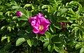 Rosa rugosa in Lahälla.jpg