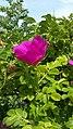 Rosa rugosa inflorescence (14).jpg