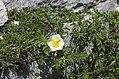 Rosa spinosissima inflorescence (34).jpg
