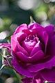 Rose, Intrigue - Flickr - nekonomania (4).jpg