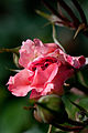Rose, Lilibet - Flickr - nekonomania (3).jpg