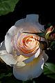 Rose, Moonsprite - Flickr - nekonomania (2).jpg