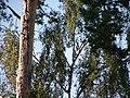 Rotkiefer und Birke - panoramio.jpg