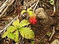 Rubus ikenoensis 3.JPG