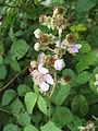Rubus ulmifolius (2484343742).jpg