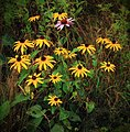 Rudbeckia hirta & Echinacea purpurea (15132978162).jpg