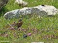 Rufous-breasted Accentor (Prunella strophiata) (23205640494).jpg