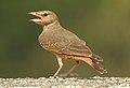 Rufous-tailed Lark Ammomanes phoenicura by Dr. Raju Kasambe DSCN5048 (3).jpg