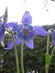 Ruhland, Grenzstr. 3, Akelei im Garten, Blüten, Frühling, 03.jpg