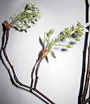 Ruhland, Grenzstr. 3, Kupfer-Felsenbirne, Zweigspitze mit Blüten, Frühling, 01.jpg