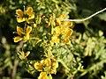 Ruta chalepensis (flower).jpg