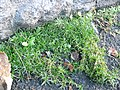 Sagina procumbens plant (05).jpg