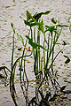 Sagittaria sagittifolia lezczok 001.jpg