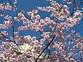 Saint Petersburg. Chinese Garden. Sakura tree2018 03.jpg