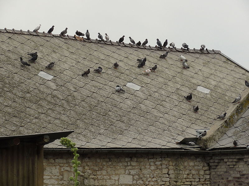 Sainte-Preuve (Aisne) des pigeons sur un toit de lauzes