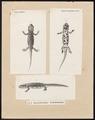 Salamandra subcristata - 1700-1880 - Print - Iconographia Zoologica - Special Collections University of Amsterdam - UBA01 IZ11400113.tif