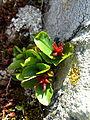 Salix herbacea female fruits2.JPG
