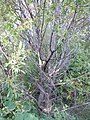 Salix lasiandra (5014371285).jpg