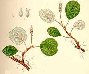 Salix reticulata - Image: Salix reticulata nätvide