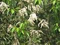 Salix tetrasperma - Indian Willow at Bavali (14).jpg
