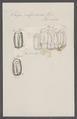 Salpa confoederata - - Print - Iconographia Zoologica - Special Collections University of Amsterdam - UBAINV0274 092 08 0012.tif