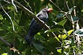 Saltator fuliginosus -Campina Grande do Sul, Parana, Brazil-8.jpg