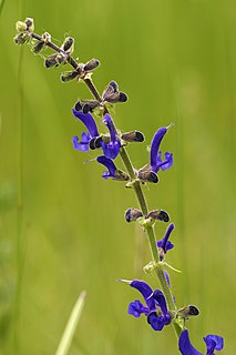 <i>Salvia pratensis</i> species of plant