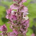 Salvia sclarea 'Euphoria'-IMG 4338.jpg