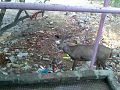 Sambhur deer at kKrni mata mandir Bala Kila.jpg