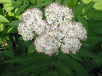 Sambucus ebulus - Danewort inflorescence