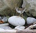 Sandpiper chick (9066497199).jpg