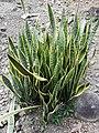 Sansevieria trifasciata Colombia.jpg
