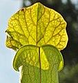 Sarracenia ((oreophila x flava) x leucophylla) x open-pollinated (9180906922).jpg