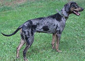 Louisiana Catahoula Leopard dog - Catahoula Leopard dog