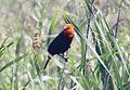 Scarlet-headed Blackbird (Amblyramphus holosericeus) (15959610471).jpg