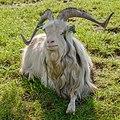 Schokland Netherlands Goat-in-Middlebuurt-01.jpg