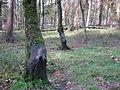 Schuurboom wild zwijn, Planken Wambuis.JPG