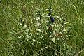 Schwalbenwurz-Enzian (Gentiana asclepiadea) in einer Pfeifengraswiese 2.JPG